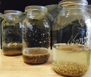 Sprouting jars with seeds
