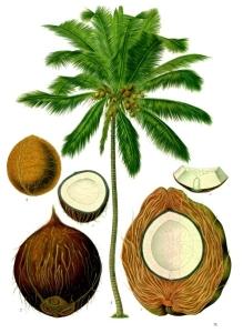 Origin of coconuts