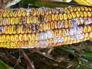 moldy-corn